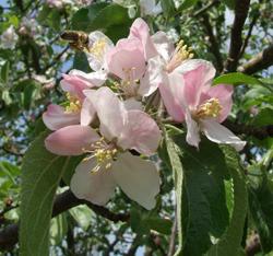 Apfelblüten-Nektar für die Bienen/© by Beatrice Fischer-Stracke